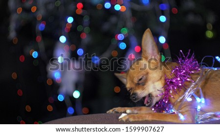 The Toy Terrier is a yellow New Year's dog. A funny dog eats a tasty bone with meat. Tinsel on her neck, around the garlands. A background of a fur-tree with shone by lights. #1599907627