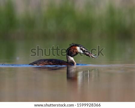 water bird on the lake (podiceps cristatus) #1599928366