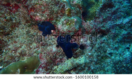 the underwater photography of Coriocella the black small slug sea snail or marine gastropod molluscs at the rock the bottm of Andaman sea Thailand
