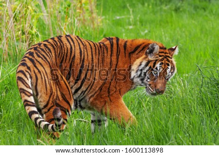 Tiger on the turn. A magnificent Bengal tigress turns on the spot. #1600113898