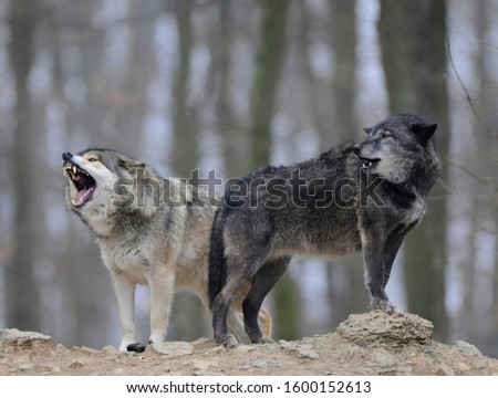 Mackenzie Wolf, Canadian wolf, Timber wolf (Canis lupus lycaon), howling #1600152613