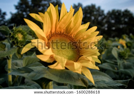 beautiful big sunflower picture for text