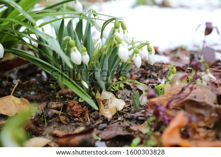 Beautiful snowdrop flower among the snow. Snowdrop forest. Magnificent view of snowdrop formation. A forest covered with snowdrops  #1600303828