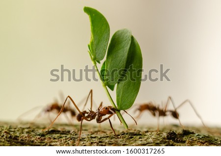 Leafcutter ants carrying leaf close up Royalty-Free Stock Photo #1600317265
