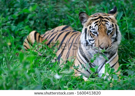 Bengal tigers are in nature
