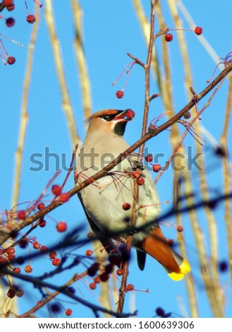Bird pecks berries from a Bush. A Whistler bird with a tuft on its head. A bird on a tree branch feeds on Rowan in winter. Wildlife and wildlife. #1600639306