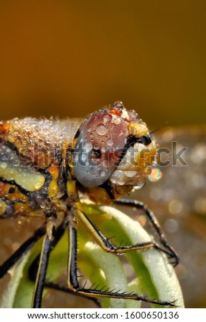 Macro shots, showing of eyes dragonfly and wings detail. Beautiful dragonfly in the nature habitat. #1600650136