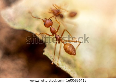 Fire ant on branch in nature sun set and wood background, Life cycle
