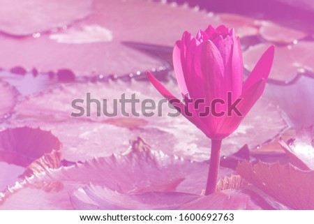Macro Pink Nymphaea Water lily or Pink Lotus Bud Flower on the lotus lake - Beautiful Flower wall picture concept