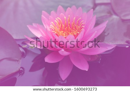 Close-up  Fresh Bloom Pink Nymphaea Water lily or Pink Lotus Flower on the lotus lake - Beautiful Floral backdrop  wall picture concept
