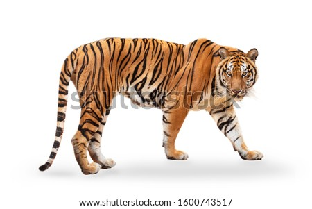 royal tiger (P. t. corbetti) isolated on white background clipping path included. The tiger is staring at its prey. Hunter concept. #1600743517