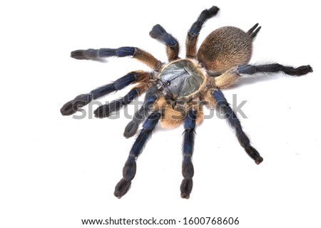 Close-up picture of the blue tarantula spider (Monocentropus balfouri) from Socotra (Yemen), photographed on white background
