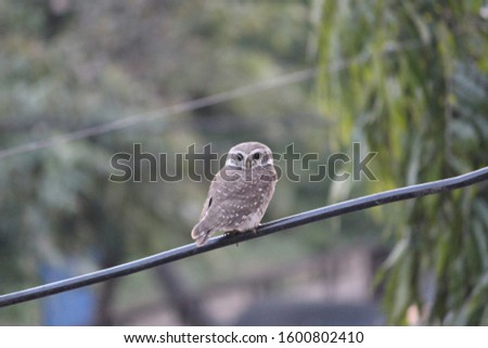 owl resting on electrical wire#picture of owl