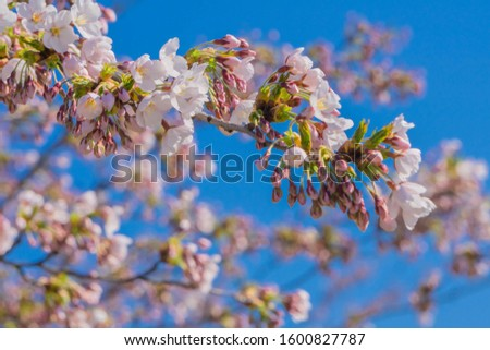 Sakura blossoms on branch during springtime blooming and blue sky. Spring flowers blossoming. Soft focus and blurred background. #1600827787