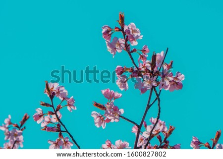 Pink blossoms on sakura branch in springtime blooming on turquoise sky background. Spring flowers blossoming. Copy space. Soft focus and retro color toned. #1600827802