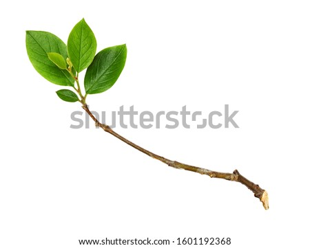 Twig with green leaves isolated on white #1601192368
