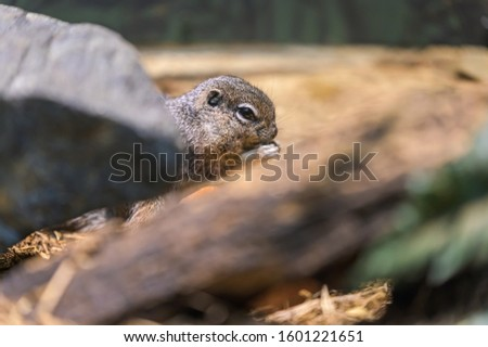 A tiny rodent enjoying a quick snack while hiding behind a rock and a branch #1601221651