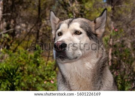 Alaskan malamute in a natural environment #1601226169