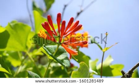 Honeysuckle with two-lipped, tubular scarlet-orange flowers close up. Lonicera sempervirens  flowers, common names coral honeysuckle, trumpet honeysuckle, or scarlet honeysuckle, in bloom. #1601281489