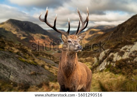 Epic Autumn Fall landscape of red deer stag in front of mountain landscape in background Royalty-Free Stock Photo #1601290516