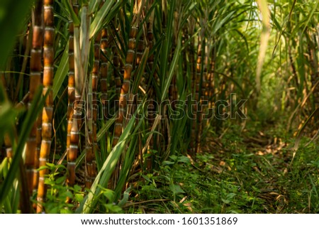 Sugarcane planted to produce sugar and food. Food industry. Sugar cane fields, culture tropical and planetary stake. Sugarcane plant sent from the farm to the factory to make sugar. #1601351869