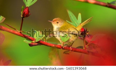 The common tailorbird is a brightly coloured bird, with bright green upperparts and creamy underparts. They range in size from 10 to 14 centimetres (3.9 to 5.5 in) and weigh 6 to 10 grams. #1601393068