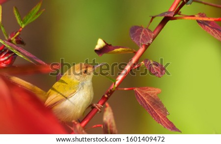 The common tailorbird is a brightly coloured bird, with bright green upperparts and creamy underparts. They range in size from 10 to 14 centimetres (3.9 to 5.5 in) and weigh 6 to 10 grams. #1601409472
