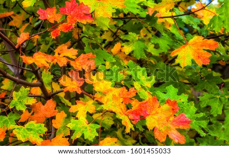 Autumn maple leaves colorful scene. Colorful autumn maple leaves. Autumn maple leaves fall. Autumn maple leaves in color #1601455033