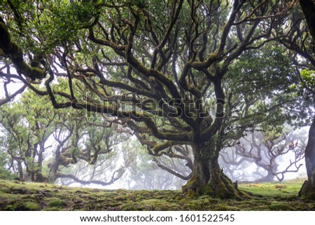 Mystical ancient laurel tree covered with perennial moss. Laurisilva forest. Madeira Island Portugal.