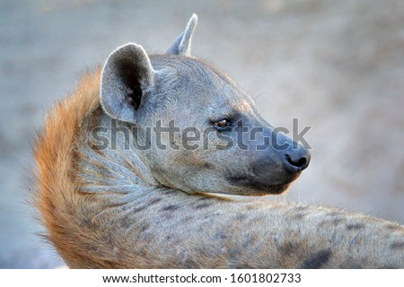 Hyena in savannah. Hyena, detail portrait. Spotted hyena, Crocuta crocuta, angry animal near the water hole, beautiful evening sunset. Animal behaviour from nature, wildlife in Etosha, Namibia, Africa
