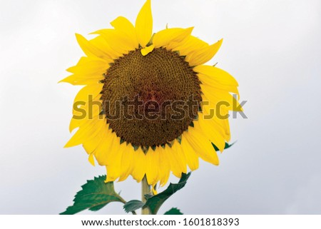 Sunflower field with bright colors with a butterfly on one flower Sunflower field with bright colors  single flower in the fall. Sunflower field with bright colors #1601818393