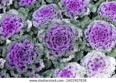The beautiful pattern purple kale