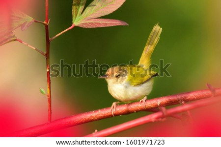 The common tailorbird is a brightly coloured bird, with bright green upperparts and creamy underparts. They range in size from 10 to 14 centimetres (3.9 to 5.5 in) and weigh 6 to 10 grams. #1601971723