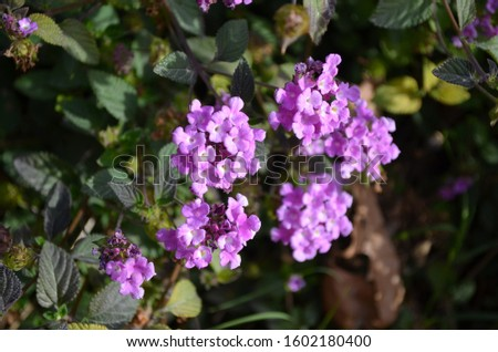 Group of pink flowers of Lantana camara plant, commonly known as big-sage,wild-sage,red-sage,white-sage,tickberry orumbelanterna, in a sunny summer garden, photographed with soft focus #1602180400