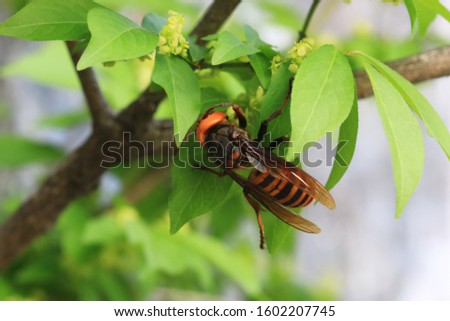 This is a picture Asian giant hornet