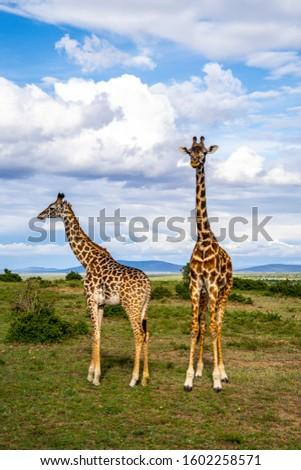 Giraffes eating and walking through Nationalpark #1602258571