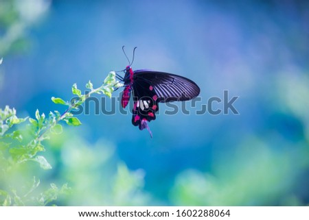 Beautiful Portrait of The Common mormon Butterfly  sitting on the flower plants in a soft green blurry background  during Spring