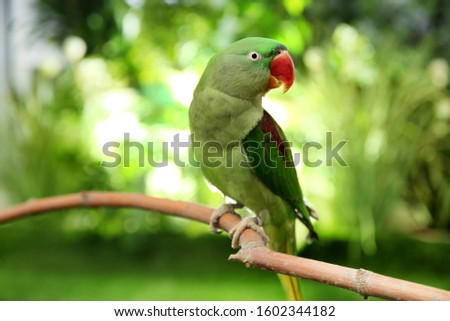 Beautiful Alexandrine Parakeet on tree branch outdoors #1602344182