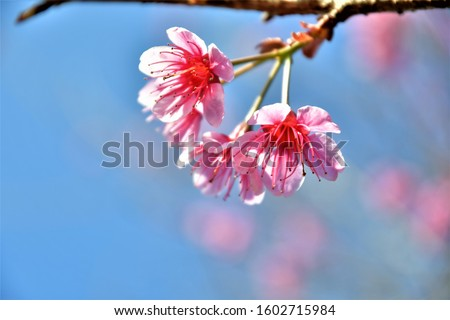 Pink trees of the Himalayan forest Thai cherry blossoms or cherry blossoms trees Scientific name: Cerasus cerasoides pink flowers and blue sky. Blur background #1602715984