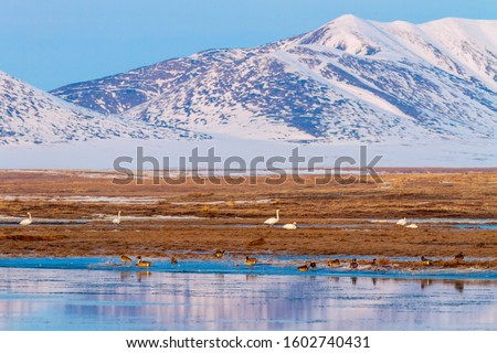 Beautiful spring landscape with white swans and pintails in the tundra on the river bank. At the end of May, migratory birds fly to the Arctic. Anadyr tundra, Chukotka, Siberia, Far East Russia.