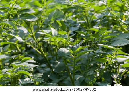 agricultural field where potatoes grow activities for obtaining vegetarian food #1602749332