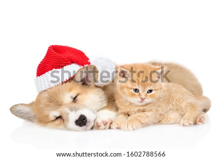 Corgi puppy wearing  acred christmas hat sleeps with tiny kitten. isolated on white background #1602788566