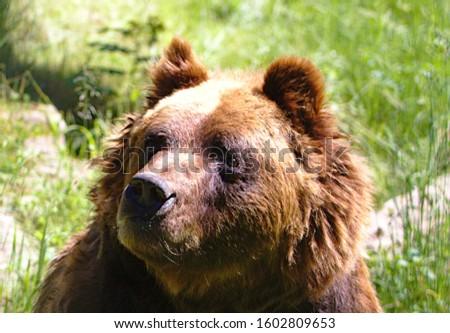 brown bear (Ursus arctos) Black Forest Germany  #1602809653