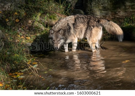 Gray wolf (timber wolf) standing in a pond with a beautiful reflection, surrounded by Fall foliage. #1603000621