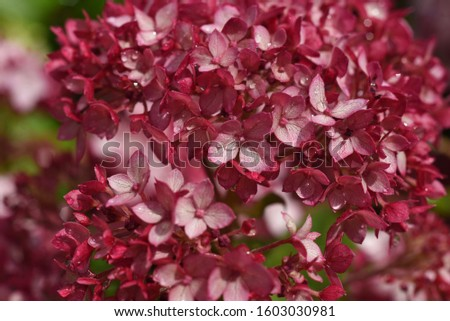 Hydrangea arborescens sort Pink Annabelle from group of varieties Annabelle #1603030981