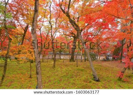 Red maple leaves or fall foliage in colorful autumn season near Fujikawaguchiko, Yamanashi. Trees in Japan. Nature landscape background #1603063177