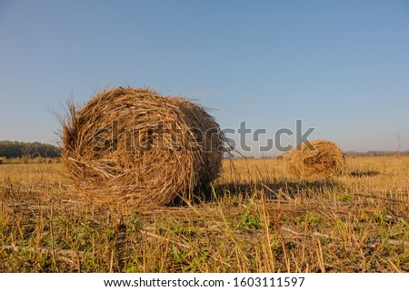rolls of hay lying in autumn sun on mown field #1603111597