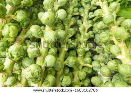Bright green Brussel sprouts on stalks  #1603182706
