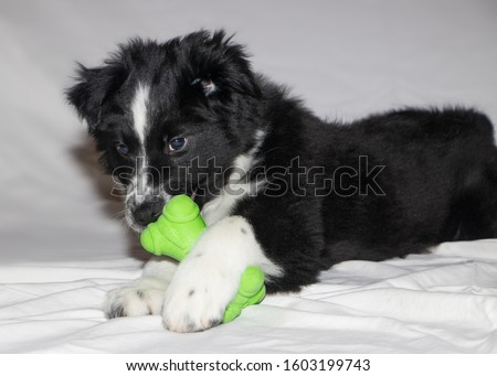 Cute black and white boarder collie and Australian Shepard mix puppy lying down playing with green toy on white background.  #1603199743