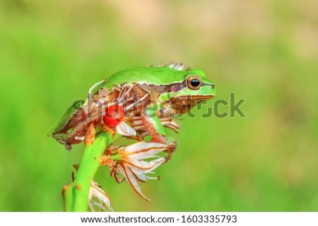 Beautiful Europaean Tree frog Hyla arborea  #1603335793